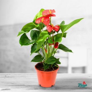 Anthurium pitic rosu - Plante de apartament
